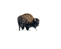 Lone Bison in Snowstorm