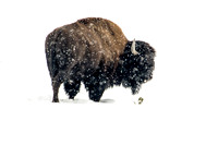 Lone Bison - Yellowstone